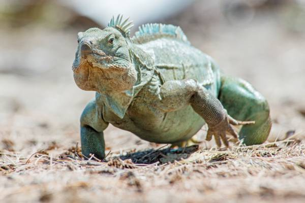 running mature male Turks and Caicos Islands Rock Iguana