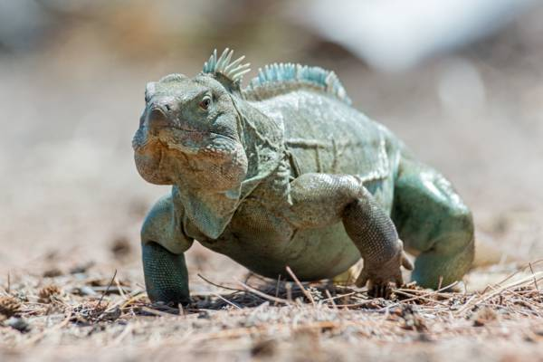 adult male Turks and Caicos Islands Rock Iguana (Cyclura carinata)
