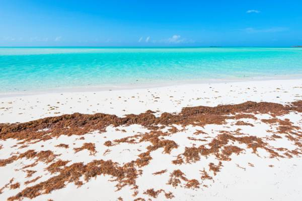 sargassum on a Turks and Caicos beach.