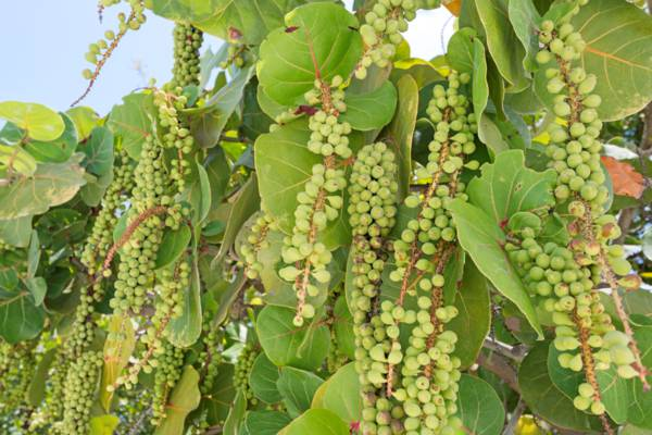 unripe sea grapes on Providenciales in the Turks and Caicos