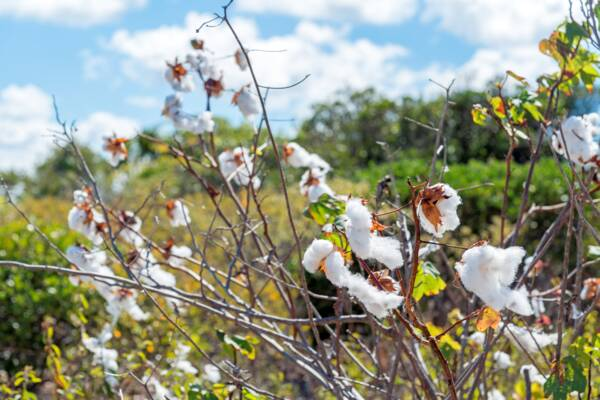 Sea Island Cotton on the island of West Caicos in the Turks and Caicos