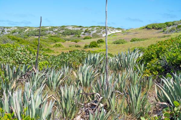 sisal plants in the Turks and Caicos