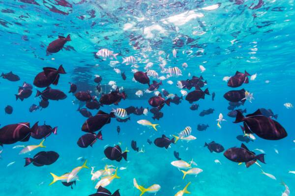 school of black durgon and yellowtail snapper at the barrier reef off of Providenciales