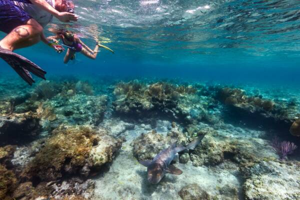 snorkelers with a nurse shark at a reef in the Turks and Caicos