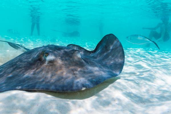 southern brown stingray (Dasyatis americana) in the Turks and Caicos
