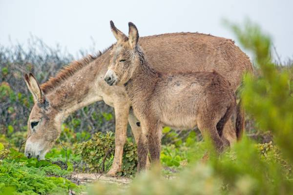 mother and baby donkey on South Caicos in the Turks and Caicos Islands