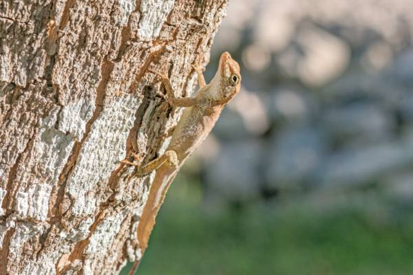 Southern Bahamas anole (Anolis scriptus scriptus) on a tree in Providenciales