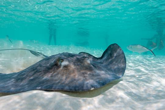 a large southern brown stingray in shallow water in the Turks and Caicos