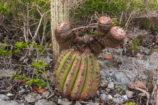 unusual Turks head cacti on East Caicos
