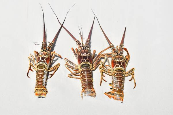 Caribbean spiny lobsters on the beach