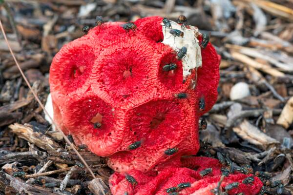 red stinking cage fungus in Turks and Caicos