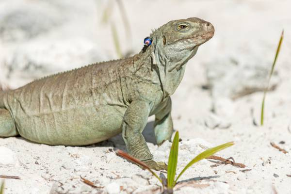 a female adult Turks and Caicos Rock Iguana with identification beads