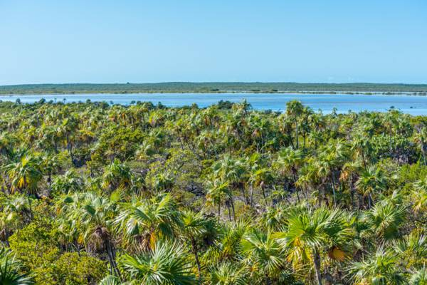 a coastal forest of thatch palms (Coccothrinax inaguensis) on Middle Caicos in the Turks and Caicos