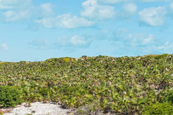 thatch palms (Coccothrinax inaguensis) on the eastern dunes of West Caicos