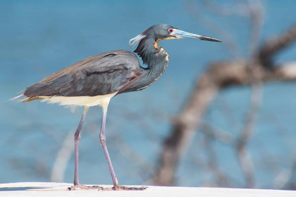 tri-coloured heron at the Boiling Hole in the salinas of South Caicos
