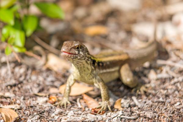 an adult male Turks and Caicos curly-tail lizard (Leiocephalus psammodromus)