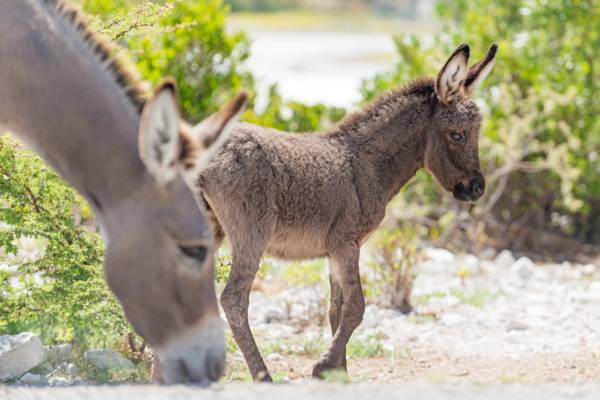 mother and baby donkey grazing on Grand Turk