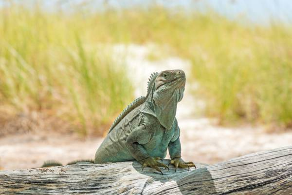 an adult Cyclura carinata iguana in the Turks and Caicos