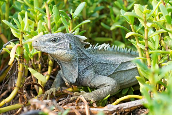 Turks and Caicos Rock Iguana on French Cay