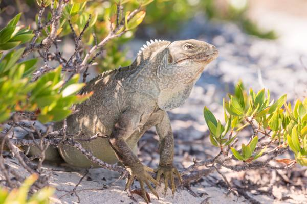 Cyclura carinata Turks and Caicos rock iguana in the dunes at Little Water Cay