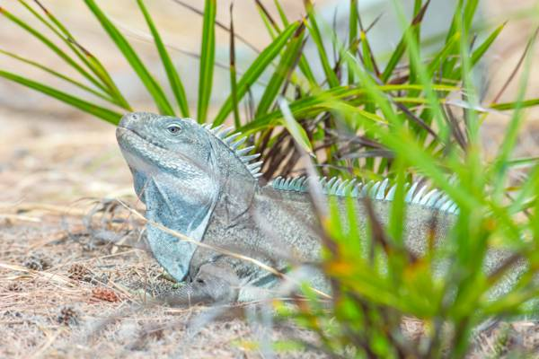 a sunning Turks and Caicos Islands Rock Iguana (Cyclura carinata)