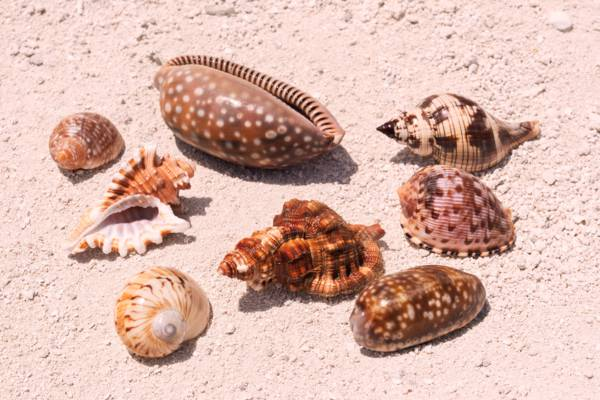 seashells in the Turks and Caicos