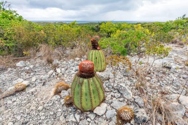 Turks Head Cacti on Ambergris Cay