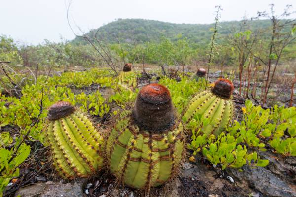 Turks Head Cacti in the limestone coppice near Flamingo Hill on East Caicos