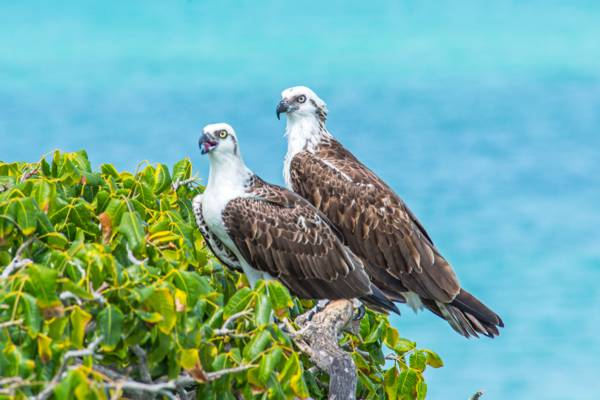 two ospreys (Pandion haliaetus) perched on a tree at West Harbour Bluff on Providenciales
