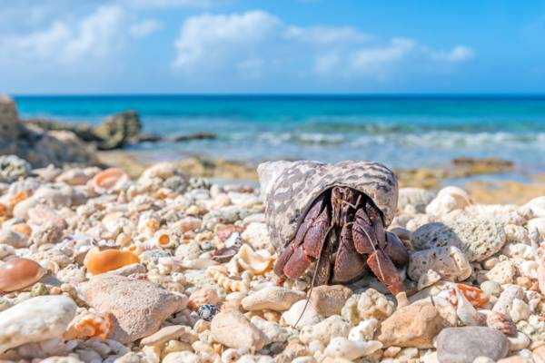 hermit crab on the coast in the Turks and Caicos