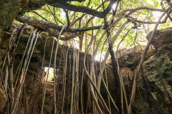 wild ficus tree roots in a cave in East Caicos