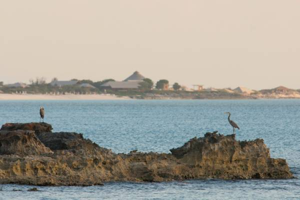 great blue herons and Amanyara at the Northwest Point Marine National Park