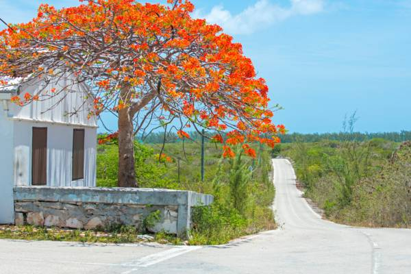 royal poinciana tree with red flowers next to a road and wall in Bambarra village