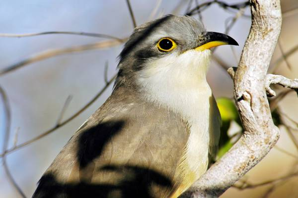 Mangrove cuckoo (Coccyzus minor) on Providenciales