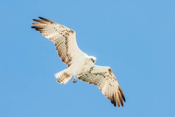 osprey at South Caicos