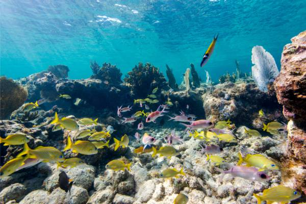 French grunts and colourful reef fish at a snorkelling reef in the Turks and Caicos