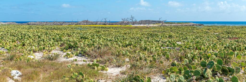 cactus in the centre of Bush Cay in the Turks and Caicos.