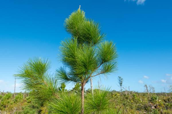 closeup of a Caicos Pine (Pinus caribaea var. bahamensis)