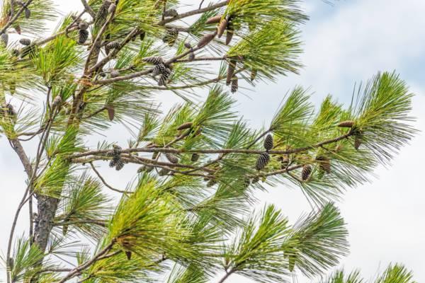 Caicos pine cones (Pinus caribaea var. bahamensis)