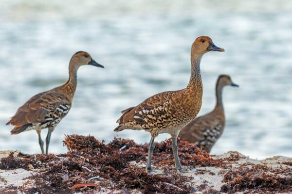 West Indian whistling ducks on a beach at East Bay Cay