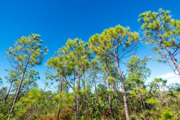 Caicos Pine forest on Pine Cay