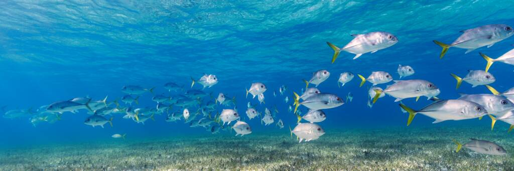 school of horse-eye jacks and sea grass in the clear ocean water off of Providenciales