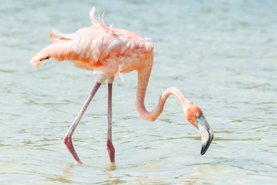 Caribbean Flamingo (Phoenicopterus ruber) in the Turks and Caicos