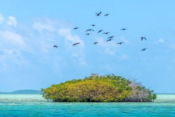 Frigatebirds in Turks and Caicos
