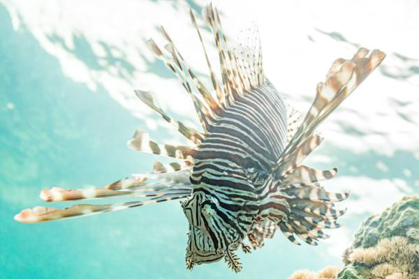 red lionfish on a Turks and Caicos reef