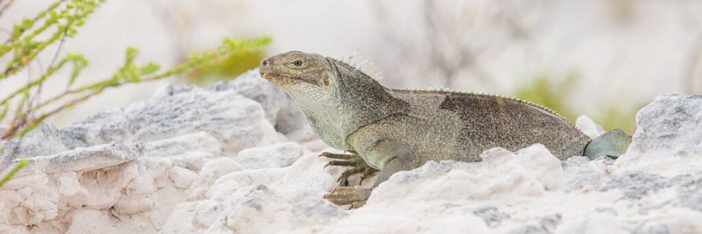 Turks and Caicos Islands Rock Iguana at Little Water Cay