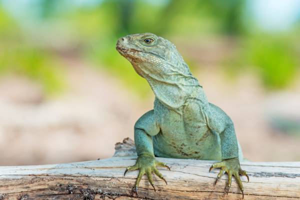 adult female Turks and Caicos Islands Rock Iguana on Little Water Cay