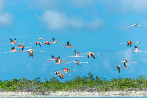 Caribbean Flamingos (Phoenicopterus ruber) in the Ramsar Nature Reserve at Middle Caicos.