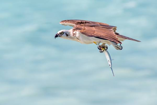 osprey fishing at West Harbour Bluff on Providenciales