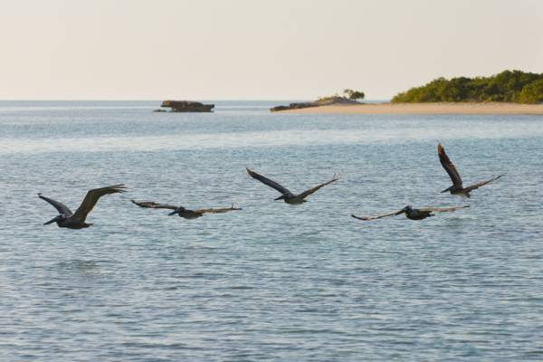 flying pelicans at West Harbour Bluff in the Turks and Caicos